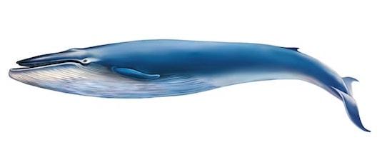 Illustrasjon av blåhval på hvit bakgrunn