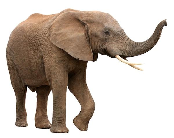 Elefant på hvit bakgrunn