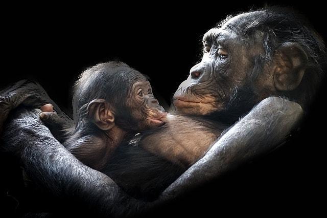 Gorilla med gorillabarn